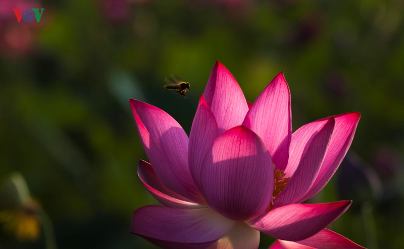 Purple lotus flowers symbolize faithfulness photo news dong nai their elegant perfumes also attract visiting bees mightylinksfo